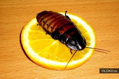 Уничтожение тараканов, клопов, муравьев с гарантией.