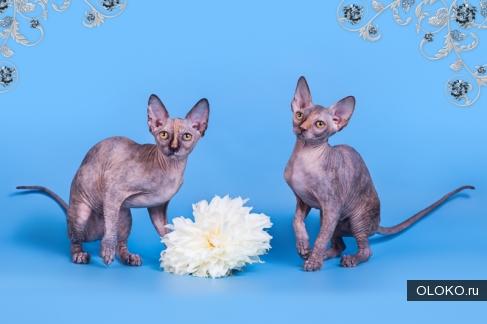 Котята и подростки породы канадский сфинкс..