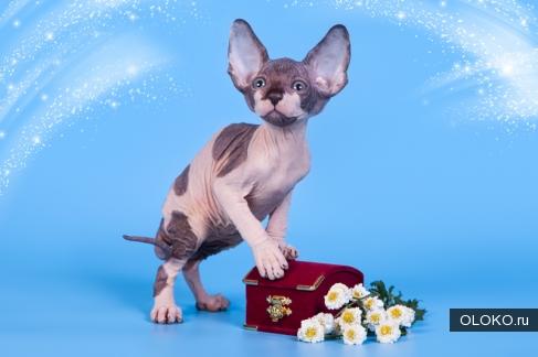 Сфинкс одна из редких пород кошек..